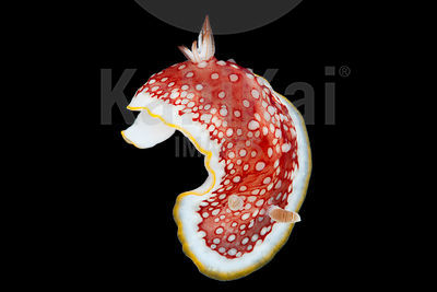 Chromodoris sp.