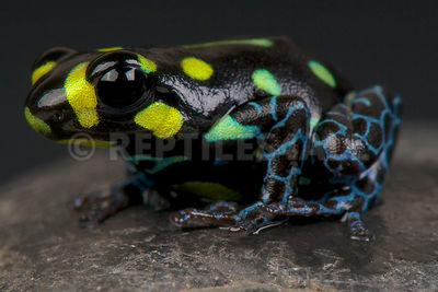 Spotted dart frog / Ranitomeya vanzolinii photos