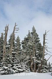 Subalpine forest after a snowstorm on Hurricane Ridge, Olympic National Park, Olympic Peninsula, Washington, USA, March, 2009_WA_8143