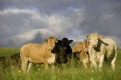 Herd of Blonde crossbred beef heifers in pasture. Ravenstonedale - Cumbria