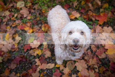 sweet little dog smiling up from autumn leaves