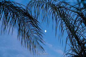 Moon riset in between palm trees in Fes, Morocco.