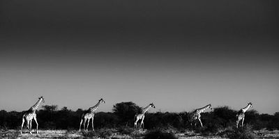 6540-Giraffes_across_the_plain_Laurent_Baheux