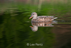 Gadwall, Anas strepera, Adult Female in Seattle Arboretum