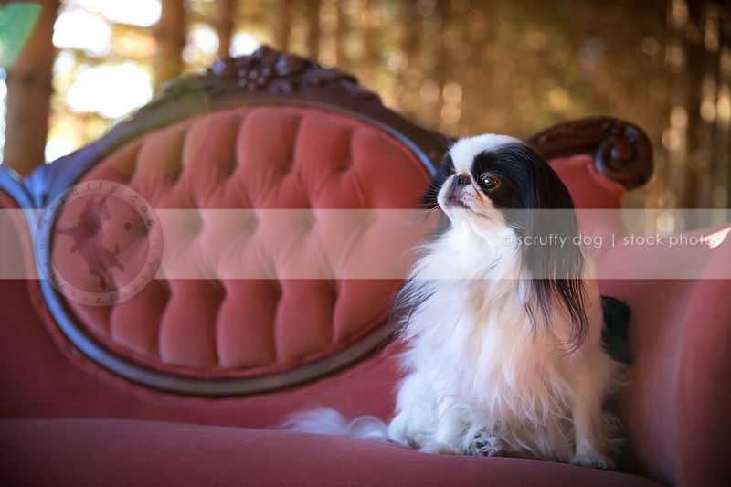 small toy breed dog sitting on antique settee in forest