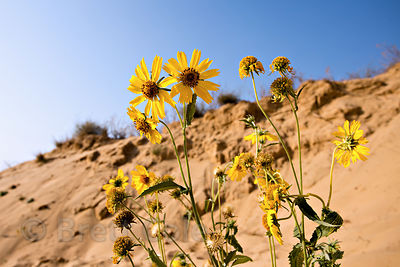Yellow flowers (sp.) growing in desert dunes, Chawandiya village, Rajasthan, India