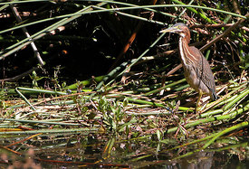 March - Green Heron