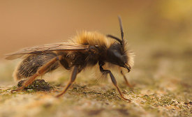 Andrena haemorrhoa, male