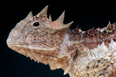 Giant horned lizard / Phrynosoma asio photos