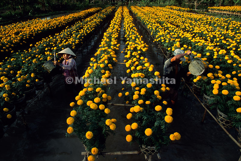 Aquaculture explodes in a sea of yellow, with marigolds being grown over water.  Learning to live on the sea was something that Zheng He and his fleets mastered, as fresh fruit and vegetables were grown aboard ship in similar fashion for the crews of more than 2000.  Mekong Delta, Vietnam