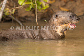 giant_otter_body_profile-2
