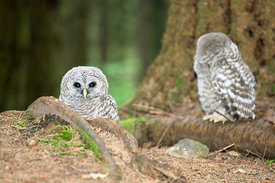 June - Barred Owls