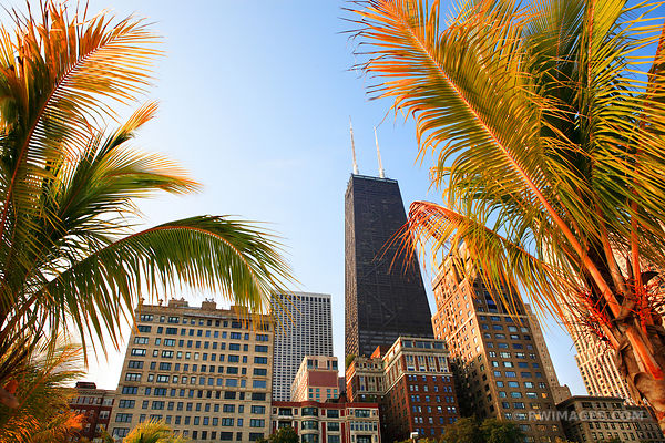 PALM TREES ON OAK STREET BEACH GOLD COAST CHICAGO