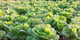 close up of lettuces growing in field, Mallorca at sunrise