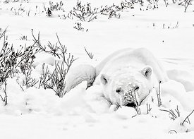 Sleepy_bear_snowy_bed_BW