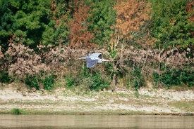 Anjou, Angers, héron cendré en vol au bord de la Mayenne