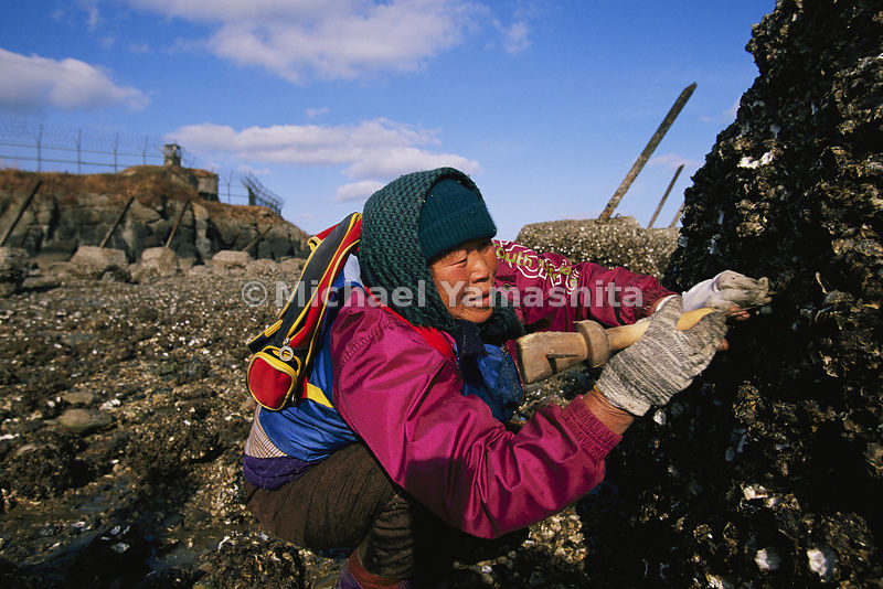 A villager harvests oysters from spiked beach fortifications on Baengnyeong Island in the Yellow Sea.