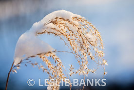 Snow Covered Ornamental Grass Plant