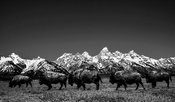8474-Buffalos_of_Grand_Teton_NP_Wyoming_USA_2014_Laurent_Baheux