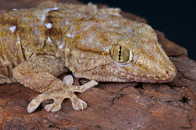 Ringed wall gecko / Tarentola annularis photos