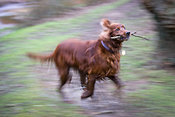 Irish setter running with stick