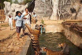 A tourist playing with a tiger at Tiger Temple in Kanchanaburi, Thailand.