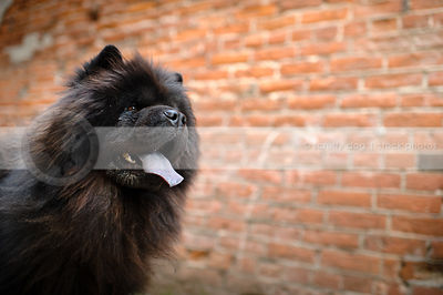 headshot of black chow dog panting at brick wall in urban setting