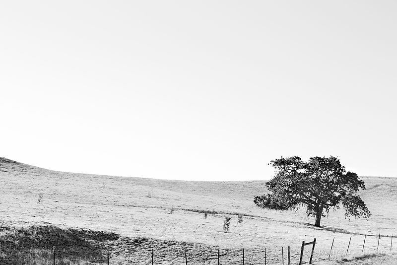 OAK TREE HILL SANTA YNEZ VALLEY SANTA BARBARA COUNTY BLACK AND WHITE