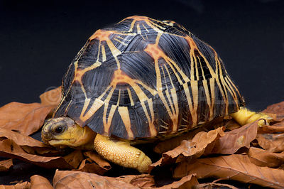 Radiated tortoise (Astrochelys radiata) photos