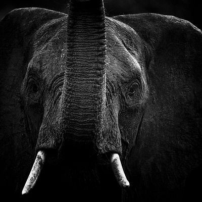 7924-Portrait_of_an_elephant_South_Africa_2008_Laurent_Baheux