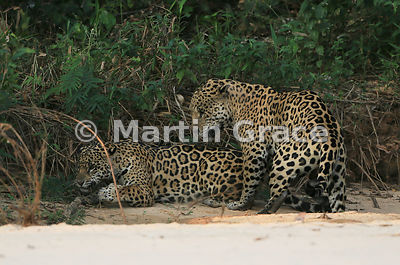 Male Jaguar 'Hero' (Panthera onca) mates with female 'Hunter', Three Brothers River, Northern Pantanal, Mato Grosso, Brazil. Image 42 of 62; elapsed time 1h 35mins