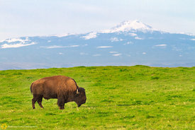Bison and Mt. Lassen