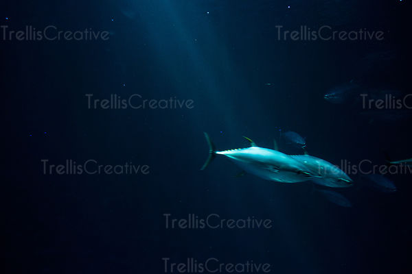 Yellow fin tuna swim in the deep dark waters off the California coast
