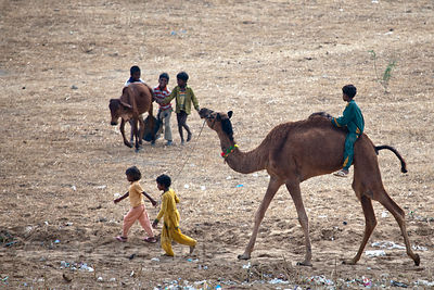 Children ride a camel and chase a cow, Pushkar, India