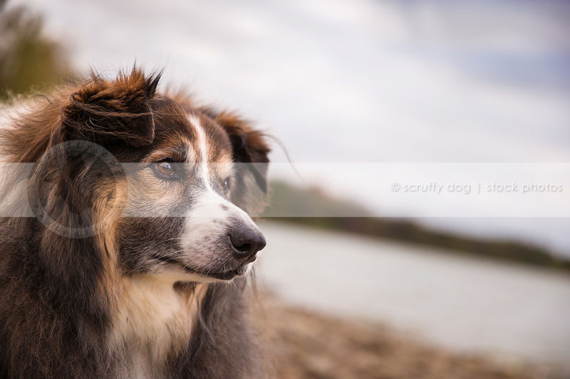 headshot of windblown longhaired dog with minimal background