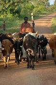 Cows being herded along a road with people watching to side Uganda Africa