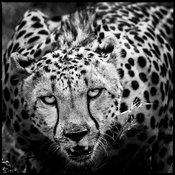 Face to face with a wild cheetah, Kenya 2013 © Laurent Baheux