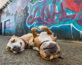 Two smiling happy dogs rolling over on backs in front of mural