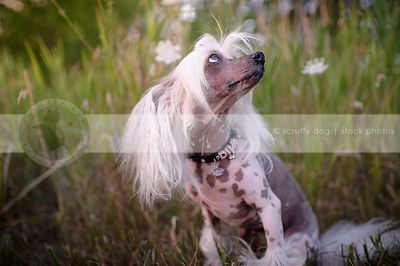chinese crested dog looking up sitting in grasses