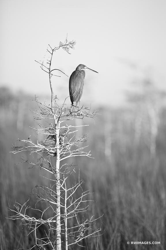 TRICOLORED HERON IN THE MORNING SUNLIGHT PA-HAY-OKEE EVERGLADES NATIONAL PARK FLORIDA BLACK AND WHITE