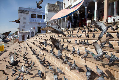 Pigeons on the ghats of Pushkar Lake, Pushkar, Rajasthan, India