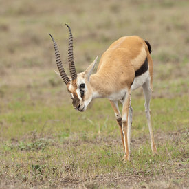 Thomsons Gazelle wildlife photos