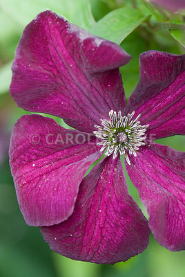 Clematis 'Royal Velours'. The Cider House, Buckland Abbey, Yelverton, Devon, UK