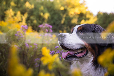headshot of big dog smiling in meadow with flowers