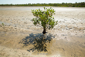 Mangrove in a mudflat on the eastern side of Vansittart Bay.