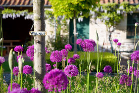 Alliums & walnut tree label