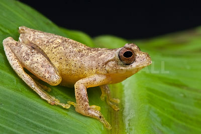 Minute tree frog (Hyla minuta) photos