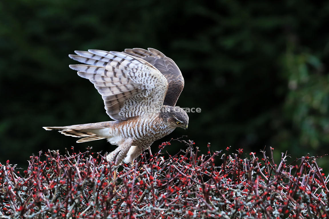 Juvenile male Eurasian Sparrowhawk (Accipiter nisus) trying to flush small bird prey from a garden Japanese Barberry (Berberis thunbergii atropurpurea), Cumbria, England