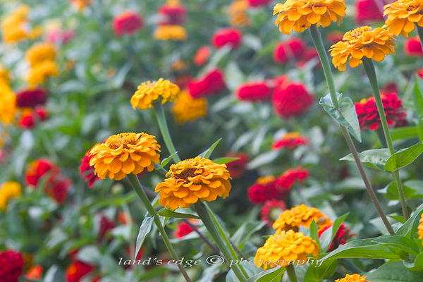Zinnias at Mello's farm in Portsmouth, RI
