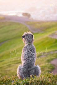 Irish Wolfhound sitting on grass overlooking ocean